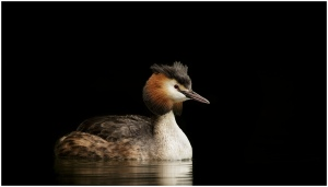 Grebe Podiceps cristatus - Great Crested Grebe