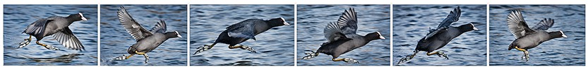 cropped-coot-running-on-water-wordpress-header.jpg
