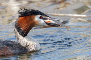Great Crested Grebe with Perch down the hatch