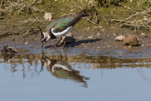 Lapwing reflected