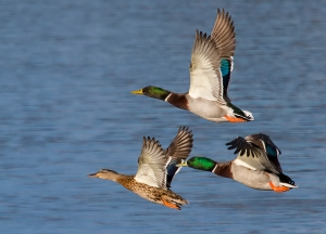 male mallards chasing female