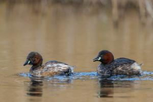 mr & mrs little grebe