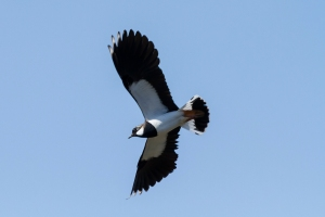 Lapwing on patrol