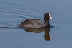 reflected coot