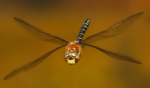 Migrant Hawker looking at the camera lens